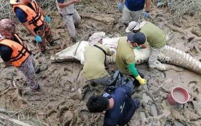 Malásia – Crocodilo capturado tinha em sua barriga restos mortais e roupas
