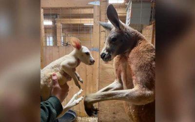 Canguru branco extremamente raro nasce em zoológico em Nova York