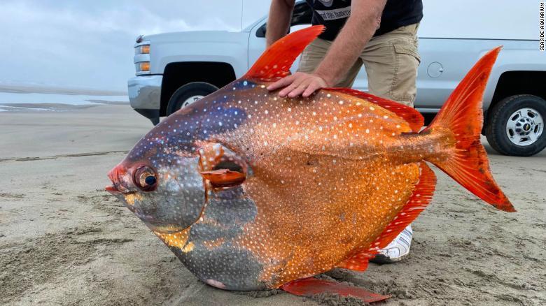 Peixe tropical de 100 libras descoberto em uma praia no Oregon